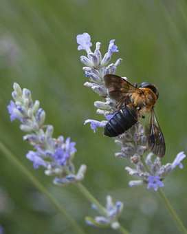 Bee, Resin Bee, Lavender, Macro, Insect, Wing, Wildlife