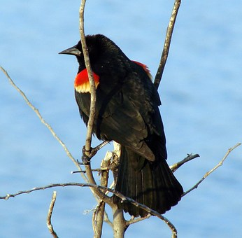 Red Winged Blackbird, Bird, Fly, Wings, Feather