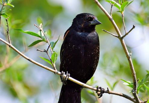 Red-winged Blackbird, Algelaius Humeralis, Bird