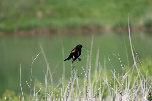 Red-winged Blackbird, Bird, Outdoors, Nature