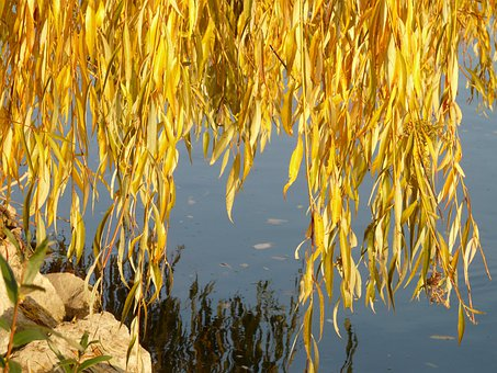 Willow Leaves, Leaves, Silver Willow, Salix Alba