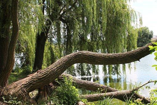 Verba, Willow, Nature, Tree, Wild, Trees, Water, Green