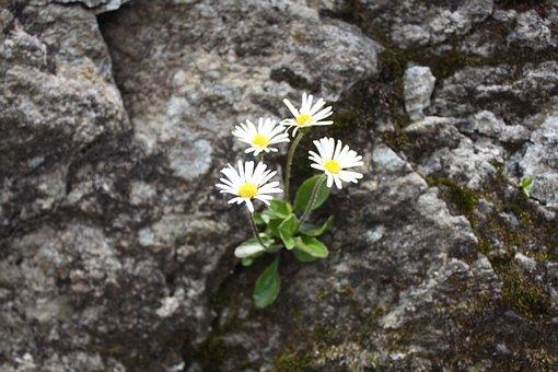 Alpine Level Lambert, Alpine Flower, Rarely