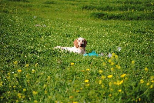 Dog In Field, Resting Dog, Dog, Pet, Animal, Portrait