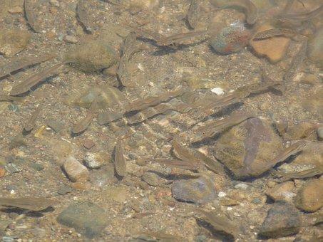 Fish, Shoal, River, Underwater, Water, Nature, Animal