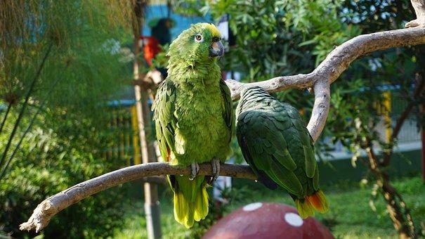 Parrot, Birds, Animals, Cotorro