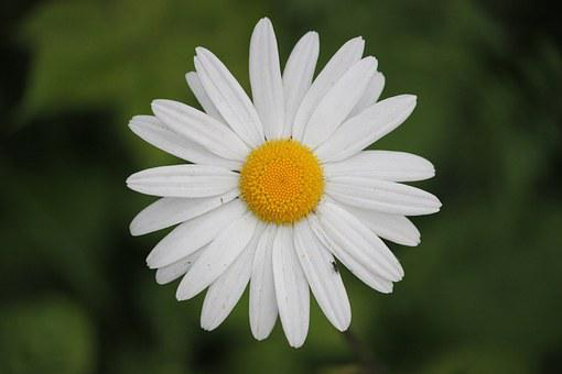 Daisy, Flowers, Bloom, Branch, Blossom, Petal, Fresh