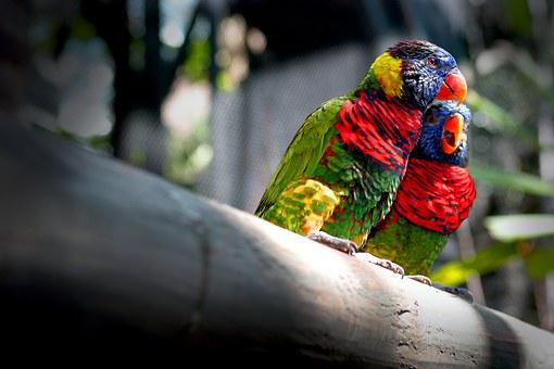 Inseparable, Birds, Color, Parrots, Plumage, Animals