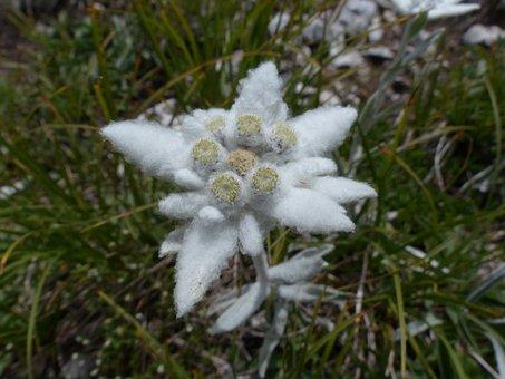 Alpine Edelweiß, Ordinary, Edelweiss, Fluffy, White