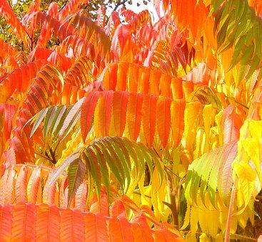 Sumac, Autumn, Fall, Foliage, Leaves, Season, Yellow