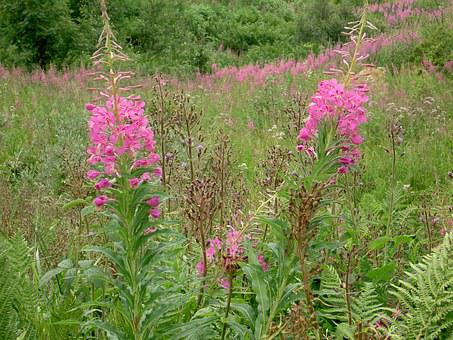 Willowherb, Wild Flowers, Pink, Fireweed, Nature, Field