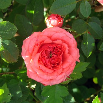 Mini Rose, Flowers, Bloom, Branch, Blossom, Petal