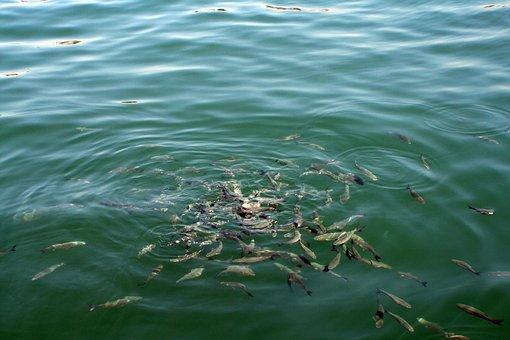Fish, Shoal, Food, Sea, Hungry, Seafood, Animal