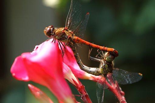 Dragonfly, Wasserjungfer, Bug, Love, Sex, Flower