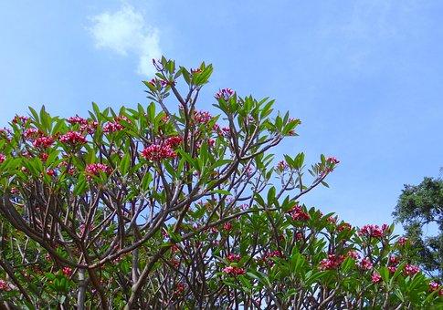 Plumeria, Red, Frangipani, Plumeria Rubra, Flower, Tree