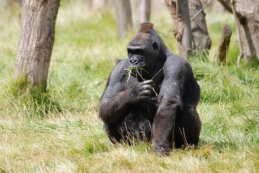 Mountain Gorilla, Gorilla, Africa, Ape, Primate