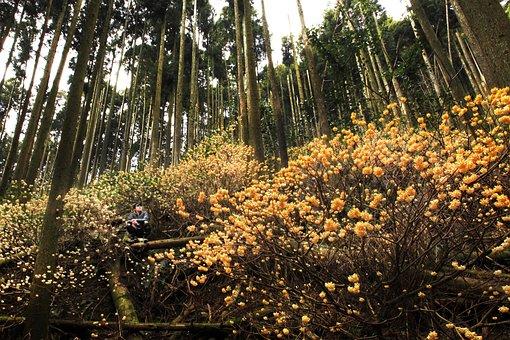 Flowers, Yellow Flowers, Natural, Oriental Paperbush