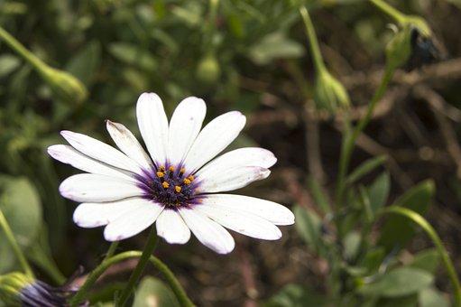 Daisy, Flower, Nature, Spring, Daisy Flower, Petals