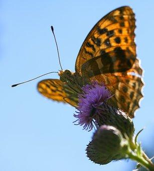 Fritillary, Argynnis Paphia, Butterfly, Macro, Thistle