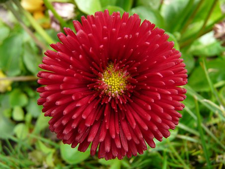 Flower, Daisy, Red, Close Up, Plant, Rob Roy, Summer