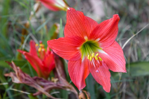 Tube Lily, Flower, Red, Macro