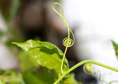 Violin Key, G Key, Tendril, Music, Plant