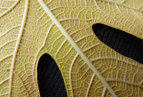 Leaf, Yellow Leaf, Fig Tree, Texture, Background