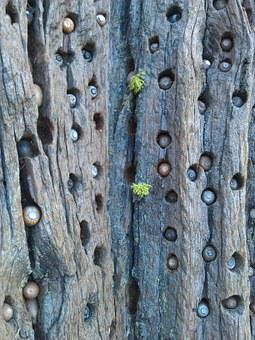 Tree, Acorns, Woodpecker Holes, Natural, Storage, Brown