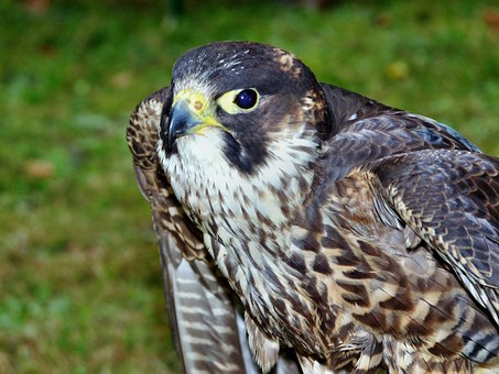 Peregrine Falcon, Animal, Birds, Falknerrei