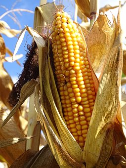 Corn, Corn On The Cob, Vegetables, Food, Cereals