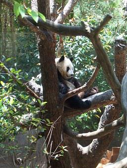 Panda, Zoo, Nature, Animal, Wildlife, Cute, Bear, Asia