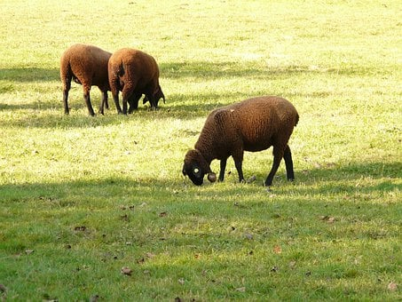 Sheep, Schwarzbraunes Bergschaf, Jura Sheep, Elbe Sheep