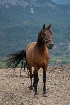 Horse, Bay Mare, Equine, Rural, Flicking Tail, Paddock