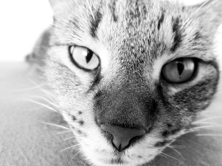 Domestic Cat, Cat, Nose, Eyes, Animal, Eye, Furry, Face