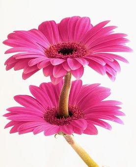 Gerbera, Flower, Flora, Floral, Nature, Plant, Weird