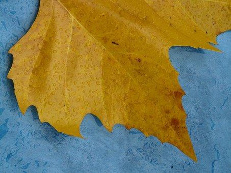 Maple Leaf, Edge, Jagged, Yellow, Macro, Close