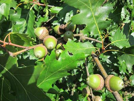 Quercus Rubra, Leaves, Acorns, Red Oak, Tree, Botany