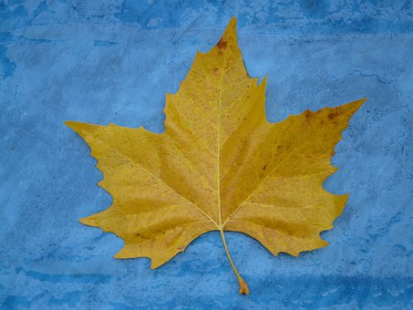 Maple Leaf, Edge, Jagged, Yellow, Fall Color