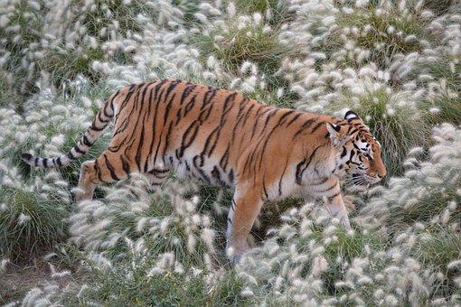 Tiger, Nature, Feline, Animal, Predator, Carnivorous