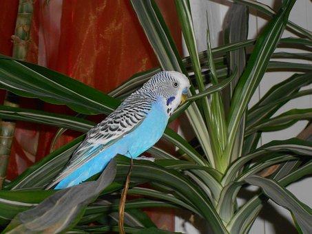 Bird, Wellensttich, Parakeet, Blue, Palm