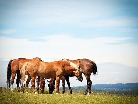 Horses, Flock, Pasture, Animal, Paddock, Ride, Graze