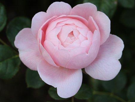 Rose, Pink Rose, Double Rose, Double Pink Rose, Pink