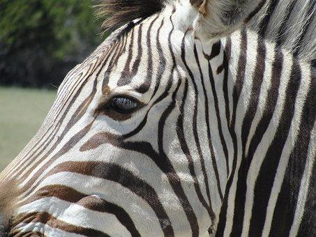 Zebra, Animal, Africa, Wildlife, Pattern, Print