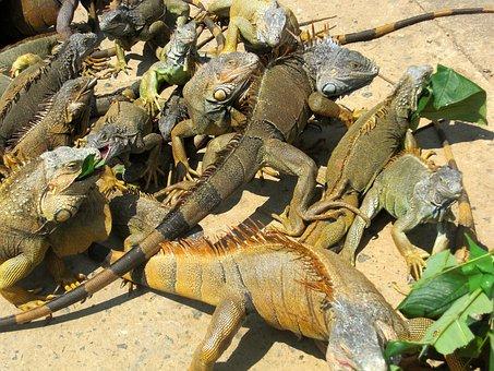 Iguanas, Animals, Iguana, Roatan, Honduras, Farm