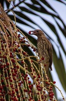 Figbird, Bird, Sphecotheres Vieilloti, Striped, Brown