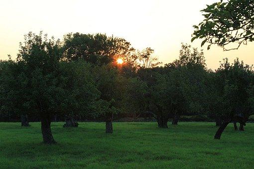 Tree, Sky, Orchard, Sun, Sunset, Grass
