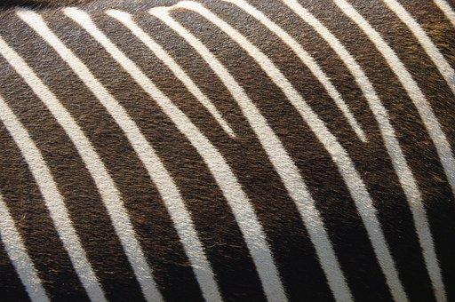 Zebra, Texture, Nature, Stripes, Animal, Pattern