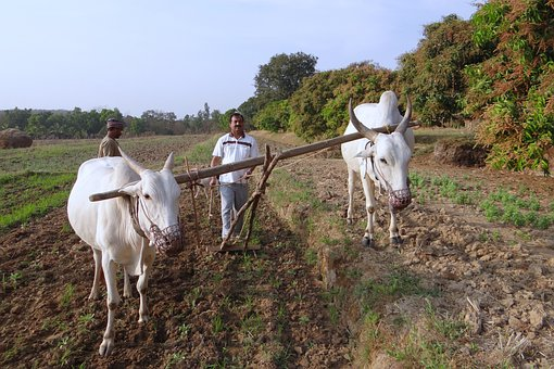Ox-plough, Tiller, Ox Plough, Farmer, Tilling