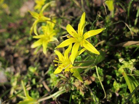 Gagea Villosa, Hairy Star Of Betlehem, Wildflower