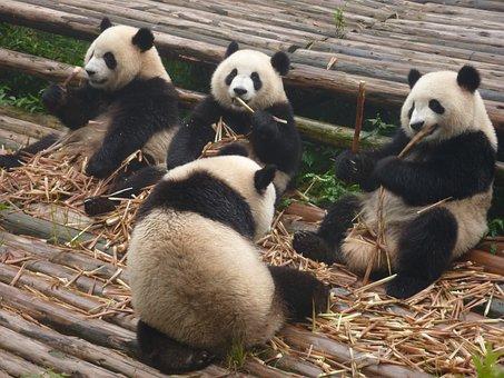 Panda, Giant Panda, Bear, Red Panda, Zoo, Nature